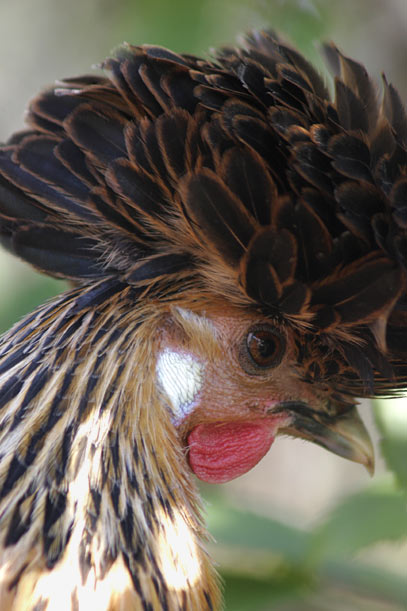 Caption:  Chickens with white earlobes (like this one) lay white or lightly tinted eggs, and chickens with red earlobes most commonly lay brown eggs. There are exceptions, of course, but this is the general rule.