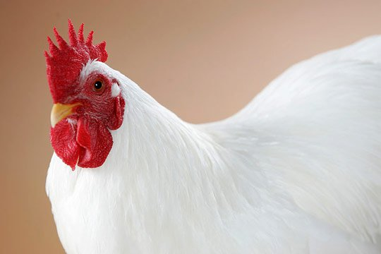 Caption: This White Plymouth Rock Rooster is working it for the camera...