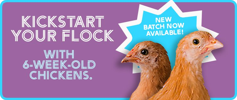 Pullets - new batch