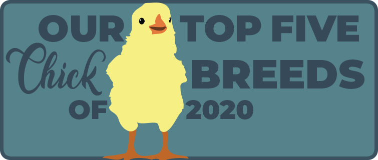 Top 5 chick breeds