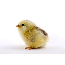 Chicks pictures foto 59