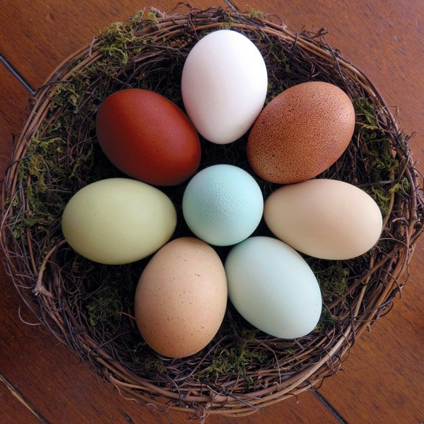 hatching eggs ultra rare assortmentfrom my pet chicken