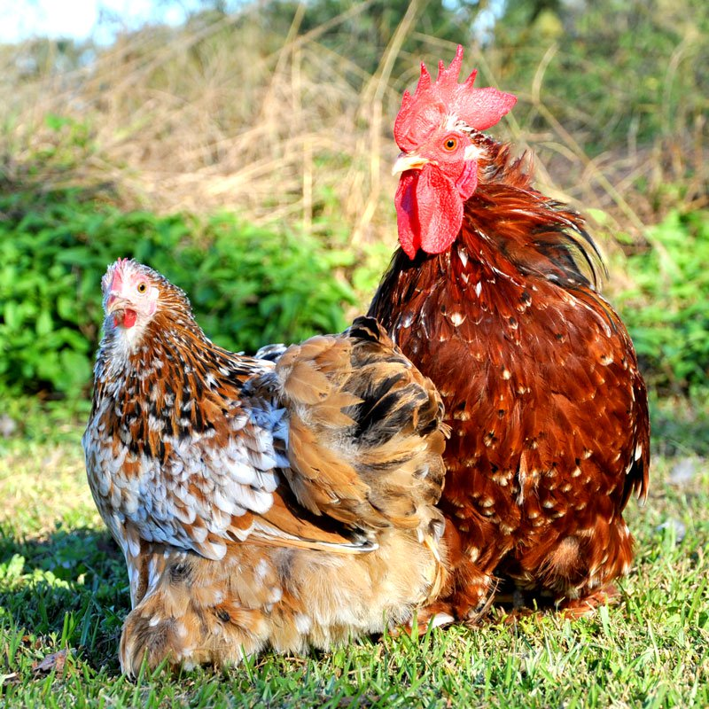 Hatching Eggs: Cochin Bantams - Mille Fleur and Calico