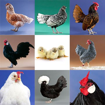 Varieties of Chickens