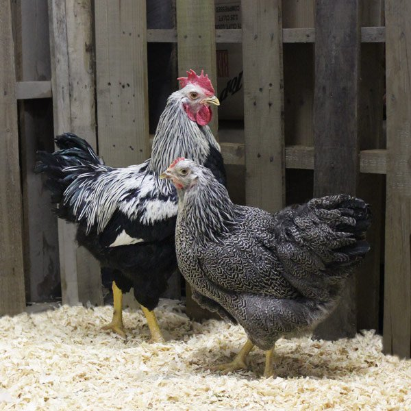 Silver penciled rock chicken - photo#27