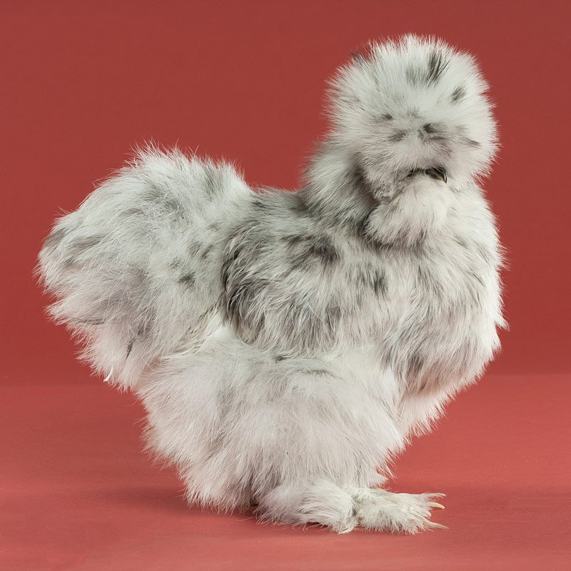 petchicken #10