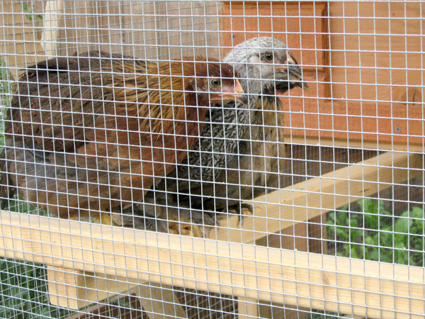 Garden Ark Building Plans up to 4 chickens from My Pet Chicken – The Garden Coop Plans Pdf