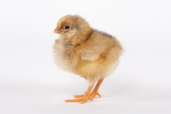 Blue Laced Red Wyandot...