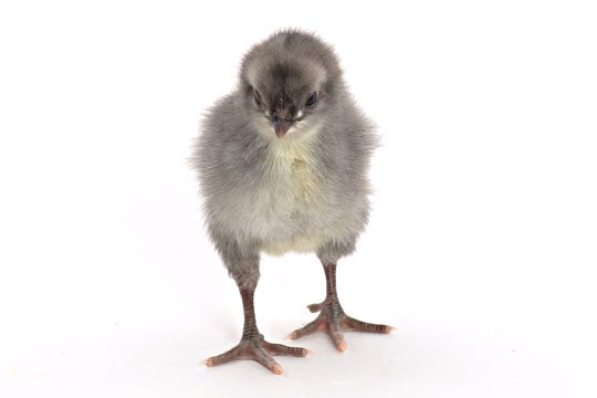 day old chicks blue black splash andalusian