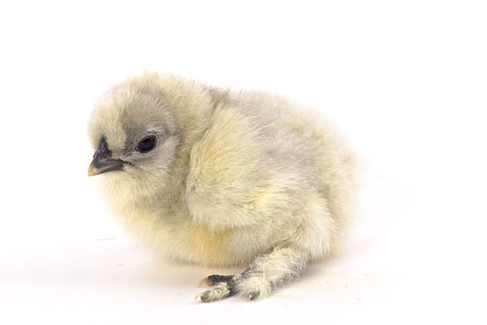 Day-Old Chicks: Blue Silkie Bantam from My Pet Chicken