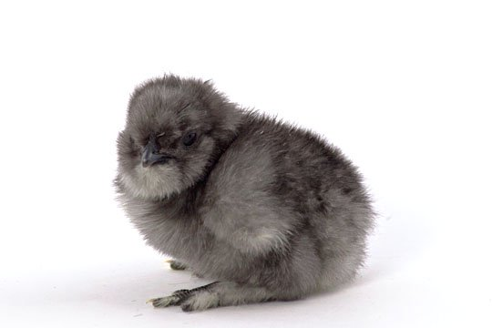 Baby Silkie Breeds | www.pixshark.com - Images Galleries ...