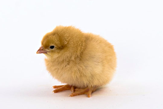 how to take care of day old baby chicks