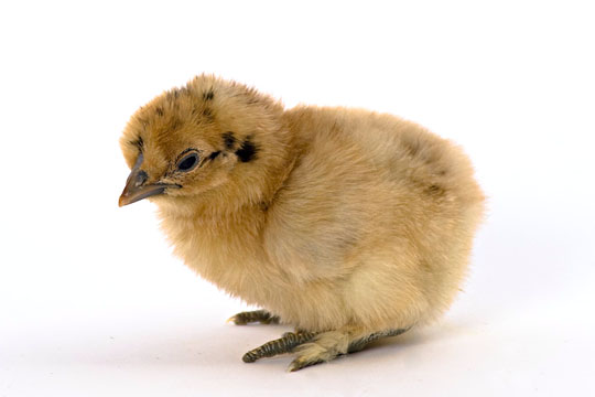 Day-Old Chicks: Buff Silkie Bantam from My Pet Chicken