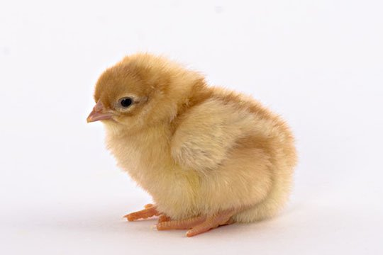Day Old Chicks Golden Buff Red Star
