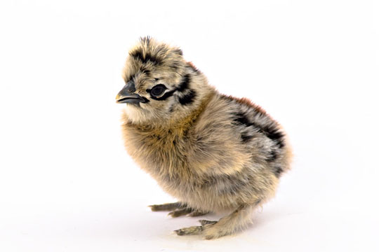 Day-Old Chicks: Partridge Silkie Bantam from My Pet Chicken