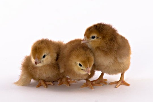 Road Island Red Baby Chicks