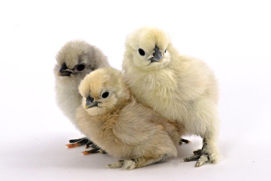 White Silkie Chicks