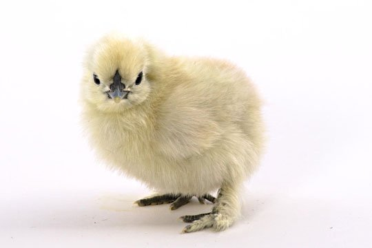 Day-Old Chicks: White Silkie Bantam from My Pet Chicken
