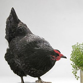 6-Week-Olds: Black Australorp