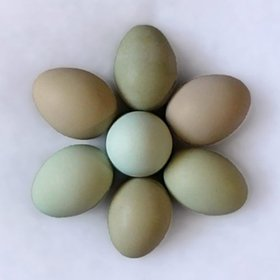 Hatching Egg: Blue/Black/Splash Isbar