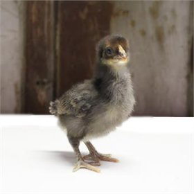 Started Pullet - Golden Cuckoo Marans