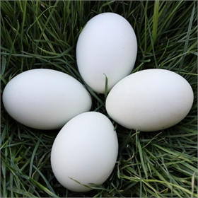 Blown Eggs for Crafting: White Chicken Eggs