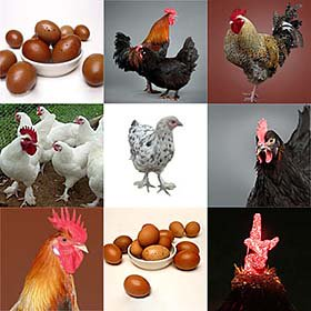 Rare Marans Collection