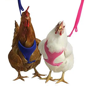 Chicken Harness (Take 'em for a walk!)