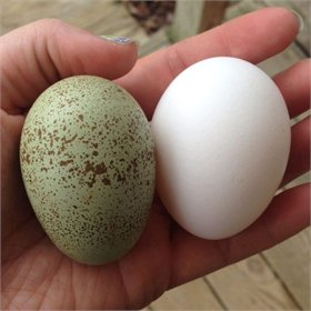 Hatching Eggs - Intense Egg Colors (10% off!)