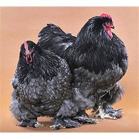 Hatching Eggs: BBS Cochins (Large Fowl)
