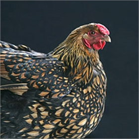 Golden Laced Wyandotte