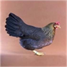 Light Brown Leghorn