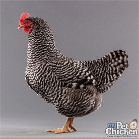 Barred Plymouth Rock
