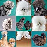 Assorted Silkie Bantams