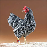 Barred Plymouth Rock Bantam